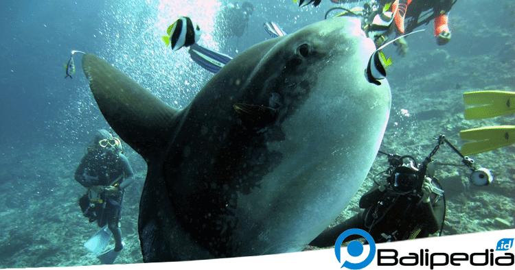 Mola-Mola Nusa Penida