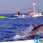 Serunya Menyaksikan Atraksi Lumba-lumba Lovina di Pulau Dewata